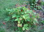 800px-whole_wild_strawberry_plant_uk_2006.jpg
