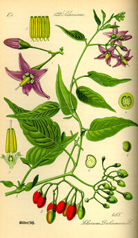 illustration_solanum_dulcamara0.jpg