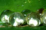 imagescleaned_washed_fiji_tree_frog_eggs_close-up.jpg